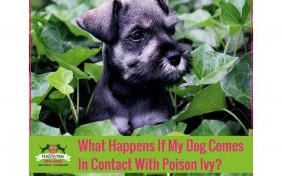 What Happens If My Dog Comes In Contact With Poison Ivy?