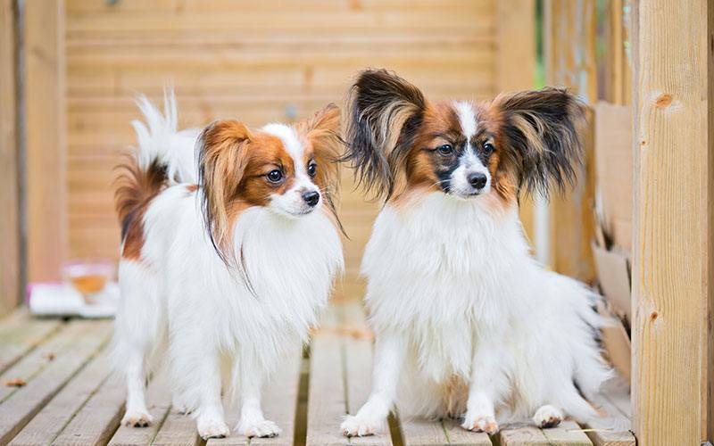 Dog in the Spotlight – The Papillon