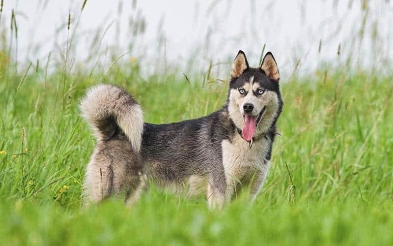 Dog in the Spotlight – The Siberian Husky